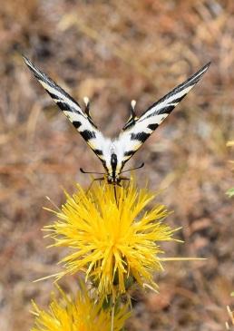 mariposa-chupaleches-3